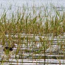 Blue-Heron-in-Marsh