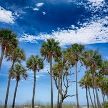 Charleston-Palm-Trees
