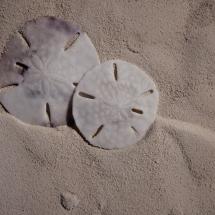 Sandollars