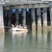 Pelicans Shem Creek