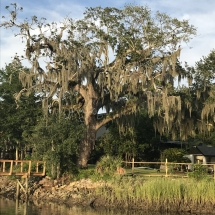 Oak-tree-dripping-with-Spanish-Moss-along-Shem-Creek